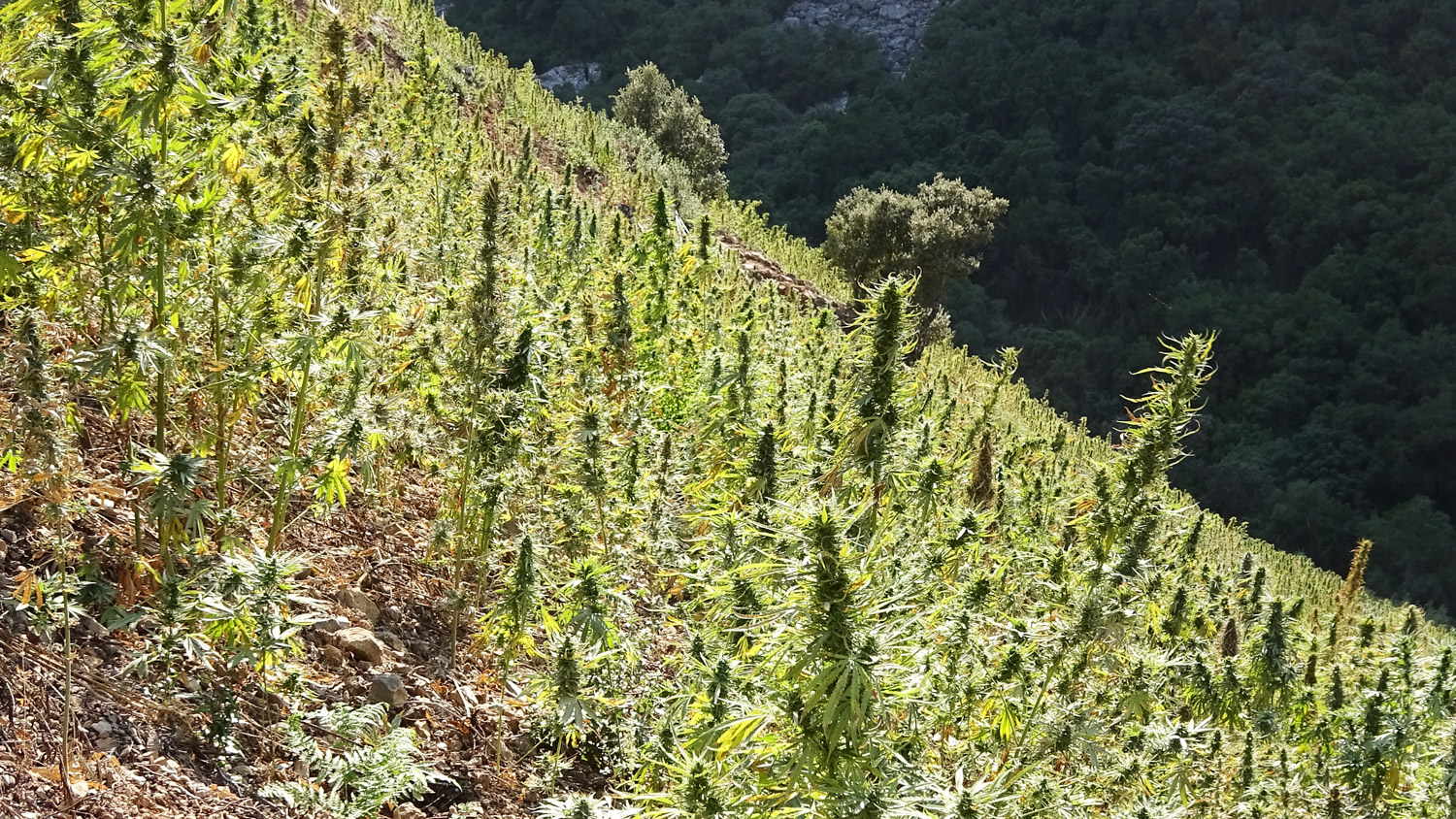Marijuana is widely - and illegally - grown in the area around Chefchaouen. It creates environmental problems as farmers clear native plants from the steep slopes.